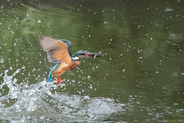 20170820-Kingfisher-DSC_0618