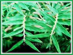 Beautiful foliage of Bambusa multiplex (Clumping Bamboo, Hedge Bamboo, Chinese Dwarf Bamboo, Buluh Pagar in Malay), 25 Aug 2017
