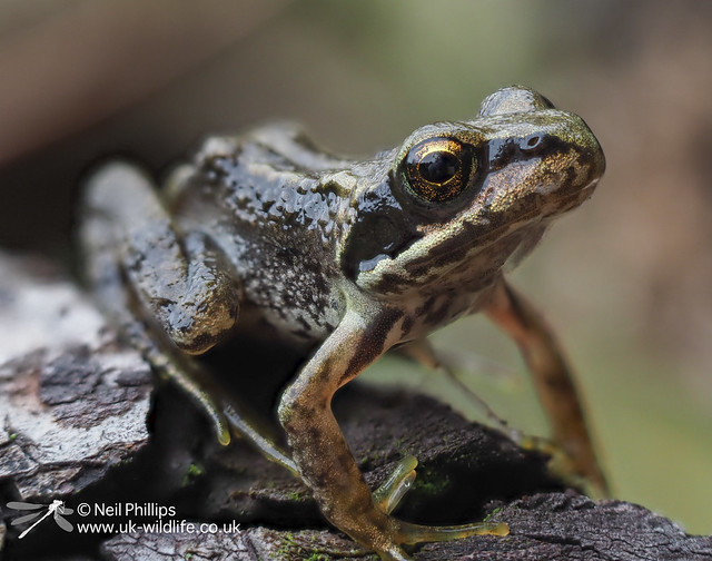 Common froglet-11