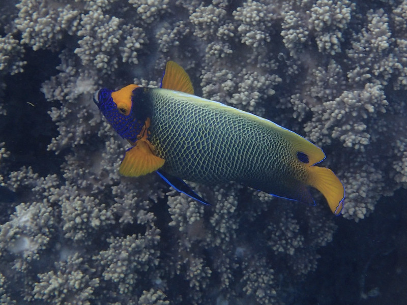 Yellow-mask angelfish_рыба-ангел_P8070495+