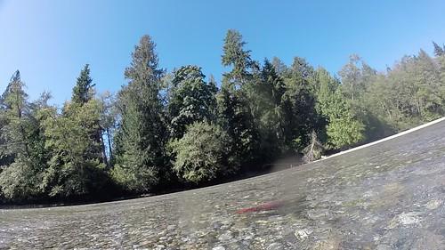 Sockeye spawners, Big Silver Creek, Harrison Lake, BC