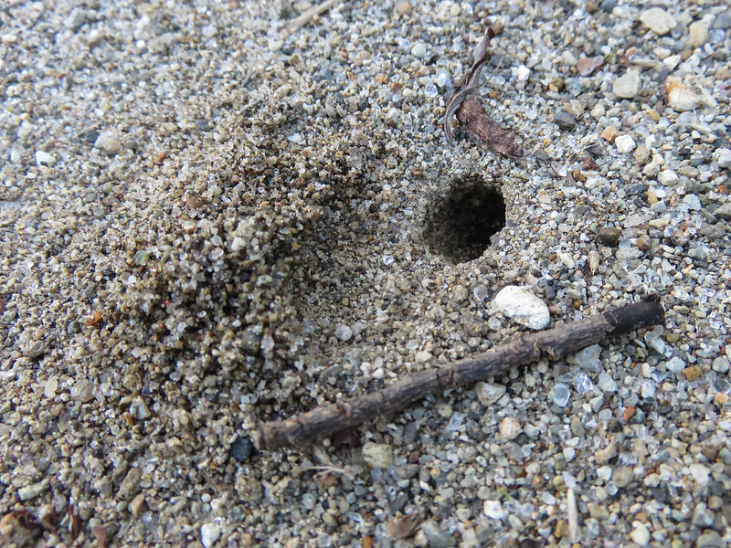 Crabronidae burrow