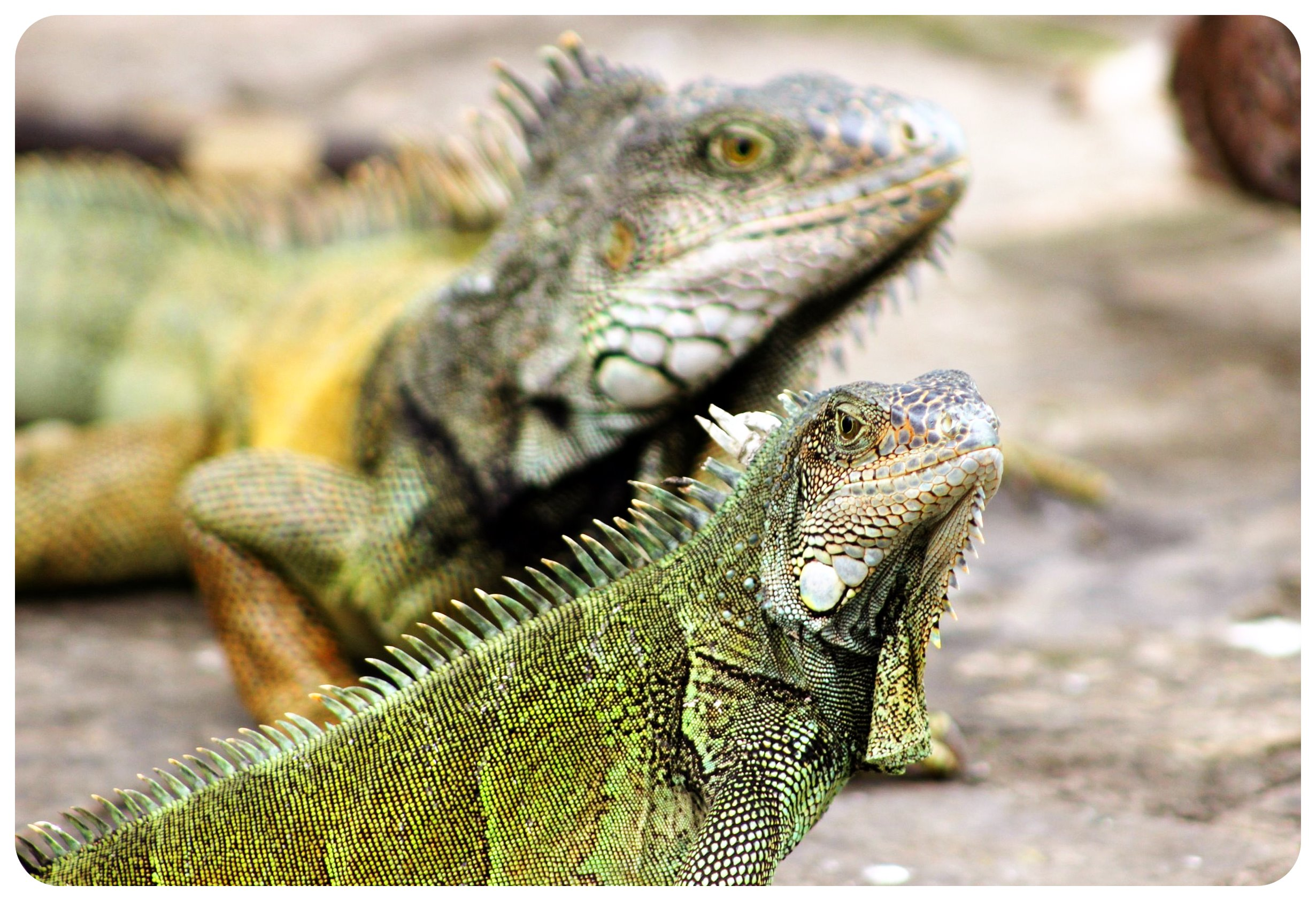 guayaquil iguanas