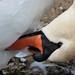 Preening Swan ....