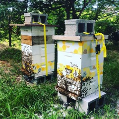 Do not leave your pets tied up outside during a storm. Except for bees; they're ok :honeybee: Other keepers on Exuma are noticing agitation in their hives. Mine are ok so far...or clueless.  #hurricane #irma #bees #beekeeping #exuma #bahamas