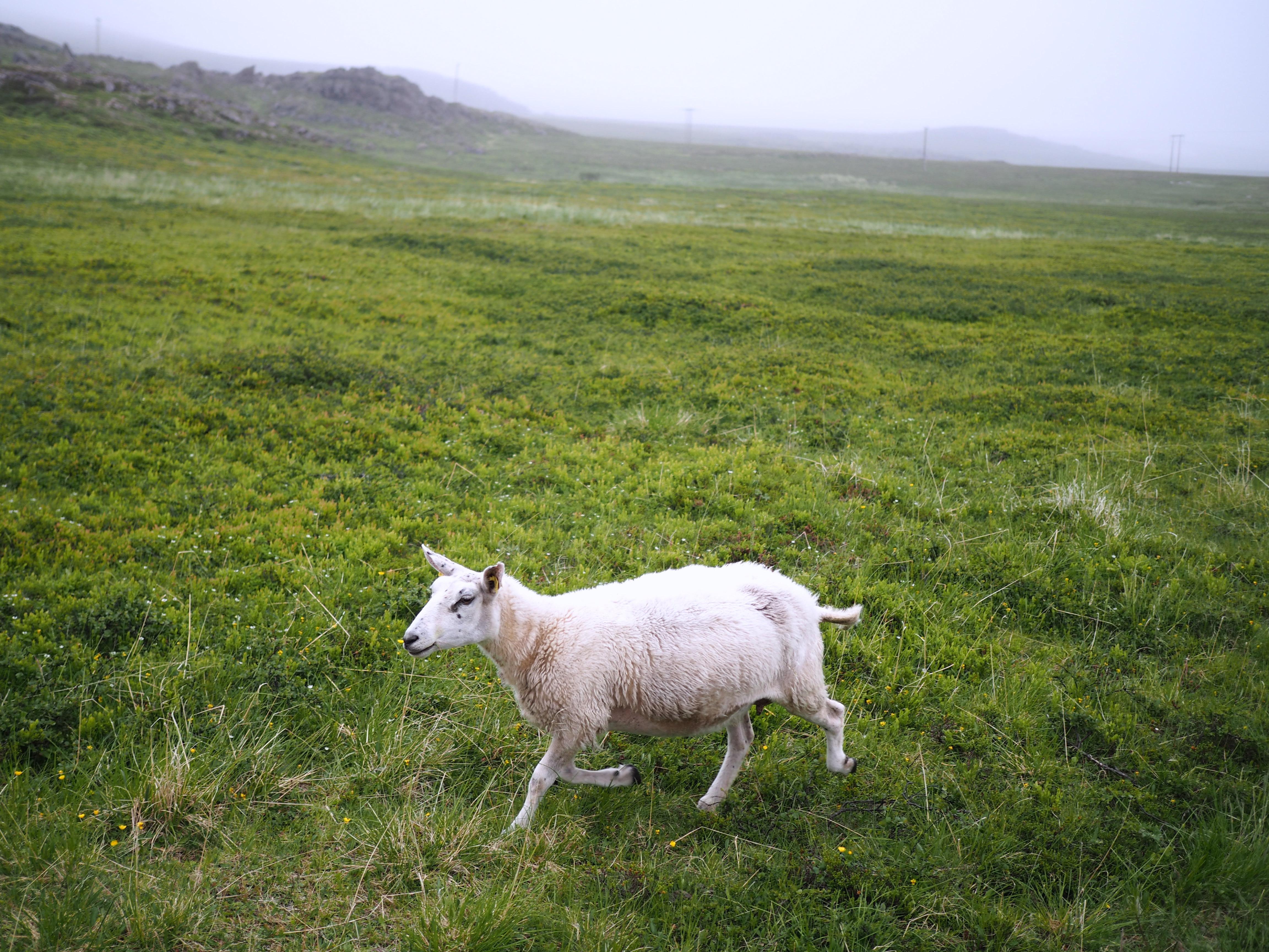 lammas norja