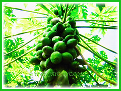 Prolific tree of Carica papaya (Papaya, Papaw, Pawpaw, Melon Tree, Betik in Malay) with numerous unripe fruits, 4 Sept 2017