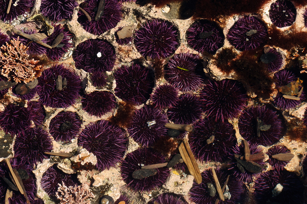 Purple sea urchins sit in the depressions they've carved over time into the tide pool at Yaquina Head Outstanding Natural Area in Newport, Oregon
