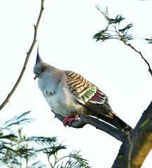 Crested Pigeon -  pink, green, magenta and punk