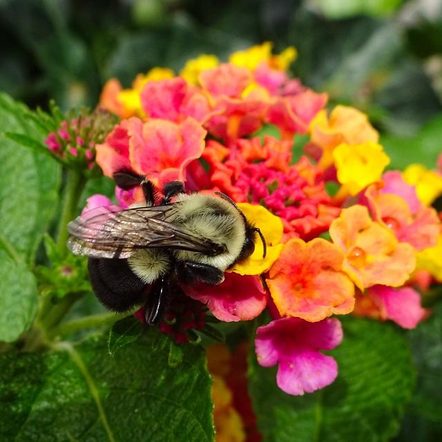 Lantana with Bee, Sony DSC-HX90V, Sony 24-720mm F3.5-6.4