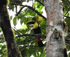 Choco Toucan (Ramphastos brevis)