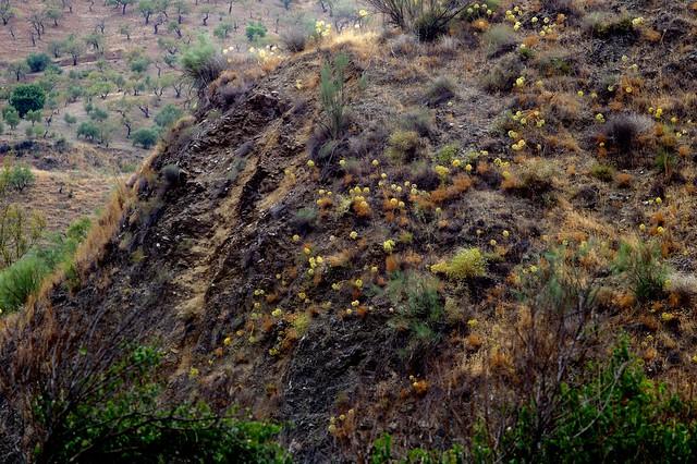 Distichoselinum tenuifolium García Martín & Silvestre - APIACEAE - Parque Natural Montes de Málaga (1)