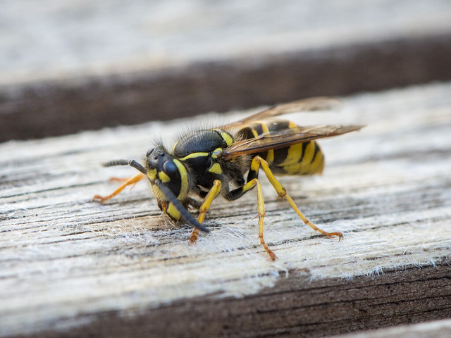 paper wasp collecting wood fiber