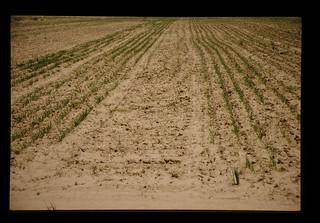 Experimental Waterharvesting Trial Of Wheat = ウオーターハベスティングによる小麦栽培試験