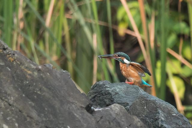 20170826-Kingfisher-DSC_0972