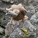 Buitre leonado (Gyps fulvus) /