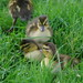 ducklings in grass