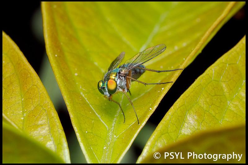 Chrysosoma fly