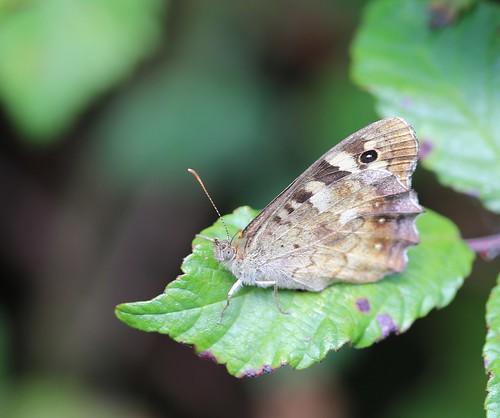 Speckled Wood on Bramble - near Pulborough
