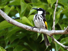 White-cheeked Honeyeater (Phylidonyris niger)