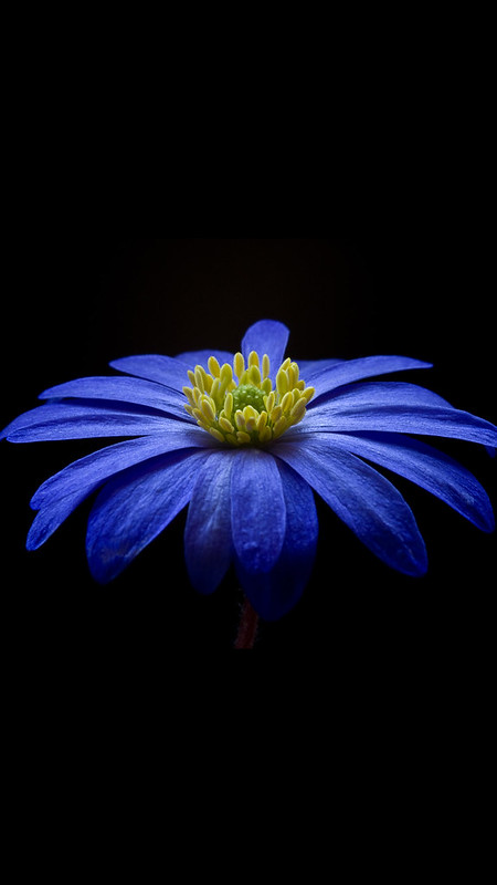 Blue-Yellow-Petaled-Flower-iPhone-8-Wallpaper