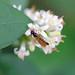 Baccha elongata, St Bees, Cumbria, England