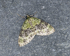70.200 Yellow-barred Brindle - Acasis viretata