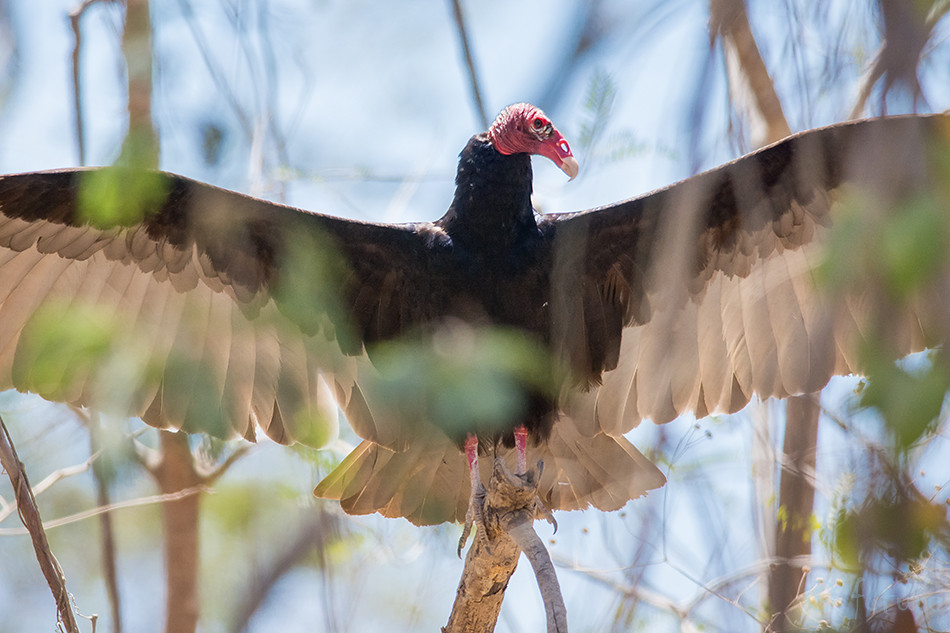 Kalkunkondor, kondor, Cathartes, aura, Turkey, Vulture, Turkey-Vulture, Buzzard, John, crow, Carrion, Nicoya, peninsula, Costa Rica, Kaido Rummel