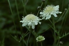 Dipsacaceae - Kaardenbolfamilie
