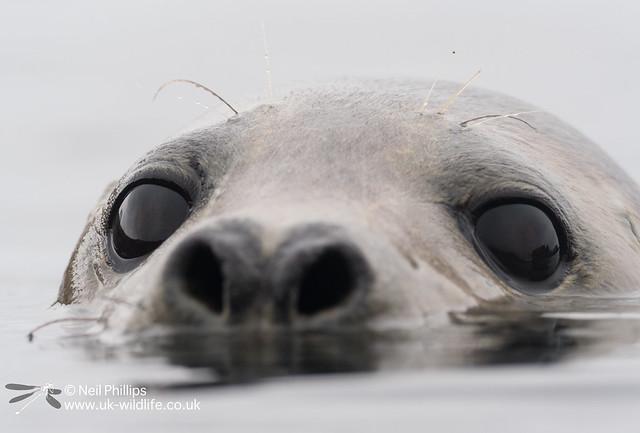 Seal-13