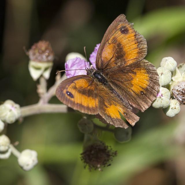 Header of pyronia