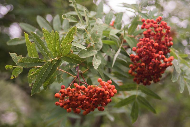 Siberian rowan (Sorbus aucuparia sibirica)