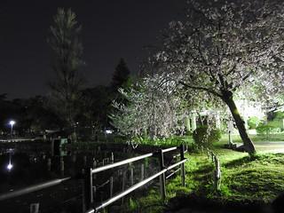 千葉公園綿打池 夜桜ライトアップ04