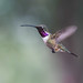 Lucifer Hummingbird by Melissa James Photography