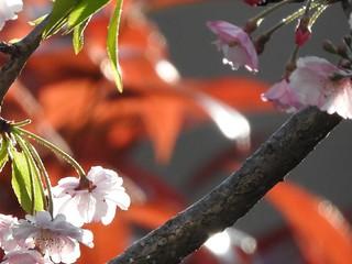かわいい妖精たち 桜編12