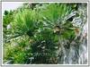 Cycas clivicola (Cliff Cycad, Mountain Cycad, Limestone Cycad)