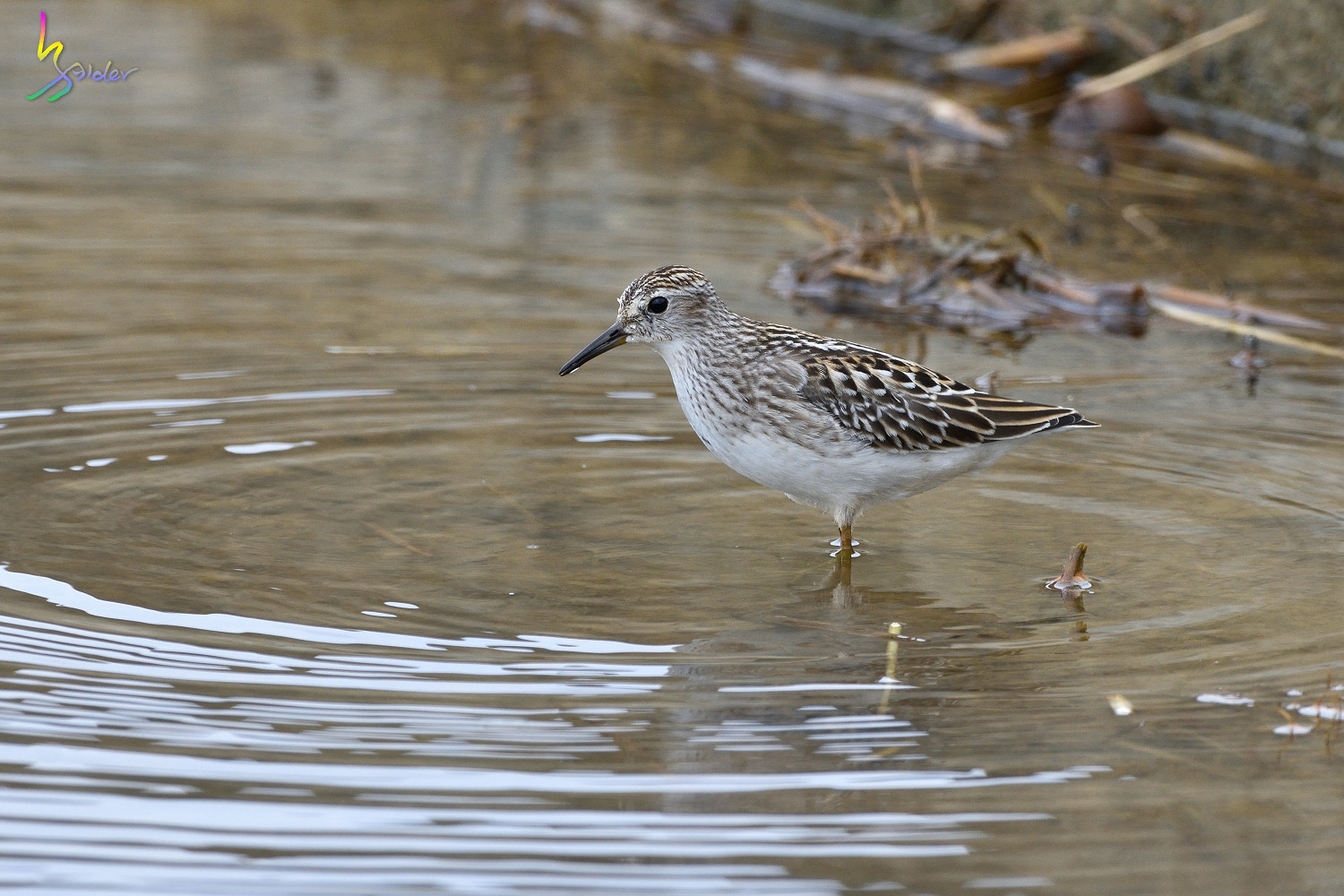 Long-toed_Stint_5964