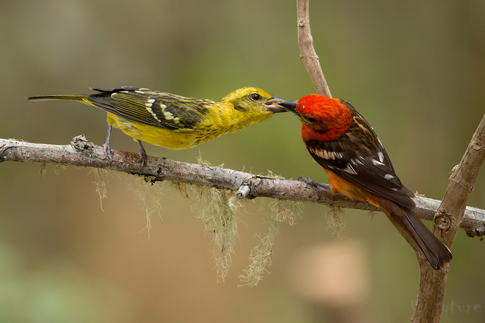 Kiriselg, leeklind, Piranga, bidentata, Flame, colored, Tanager, Flame-coloured, Stripe, backed, Parque, Nacional, Los, Quetzales, Costa Rica, citrea, Kaido Rummel