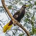 Surinam Crested Oropendoa by FotoGrazio