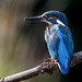 Alcedo athis by Mr F1