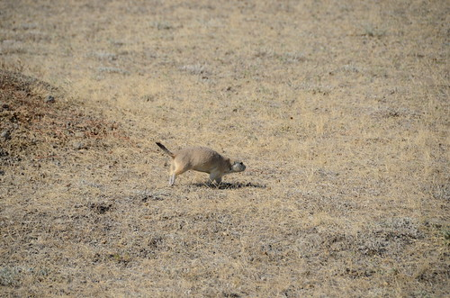 Grasslands West block black tailed prairie dog