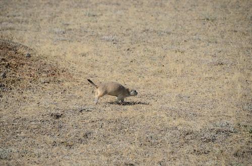 Grasslands West block black tailed prairie dog