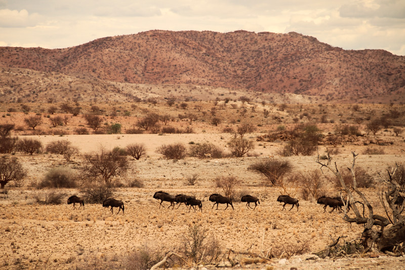 Namibia-Farm-Gnus-Herde-Safari-Roadtrip