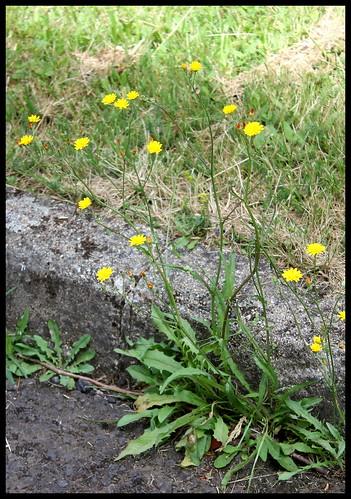 Crepis capillaris - crépis à tige fine 35926360703_e9346a35f3