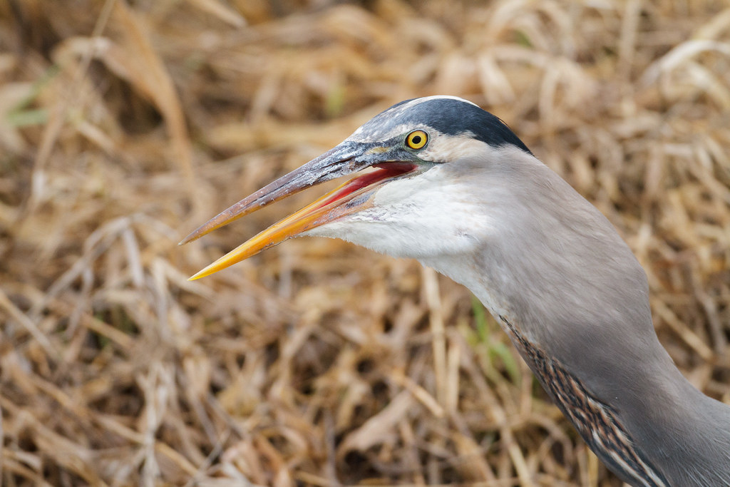 A great blue heron swallows a large American bullfrog