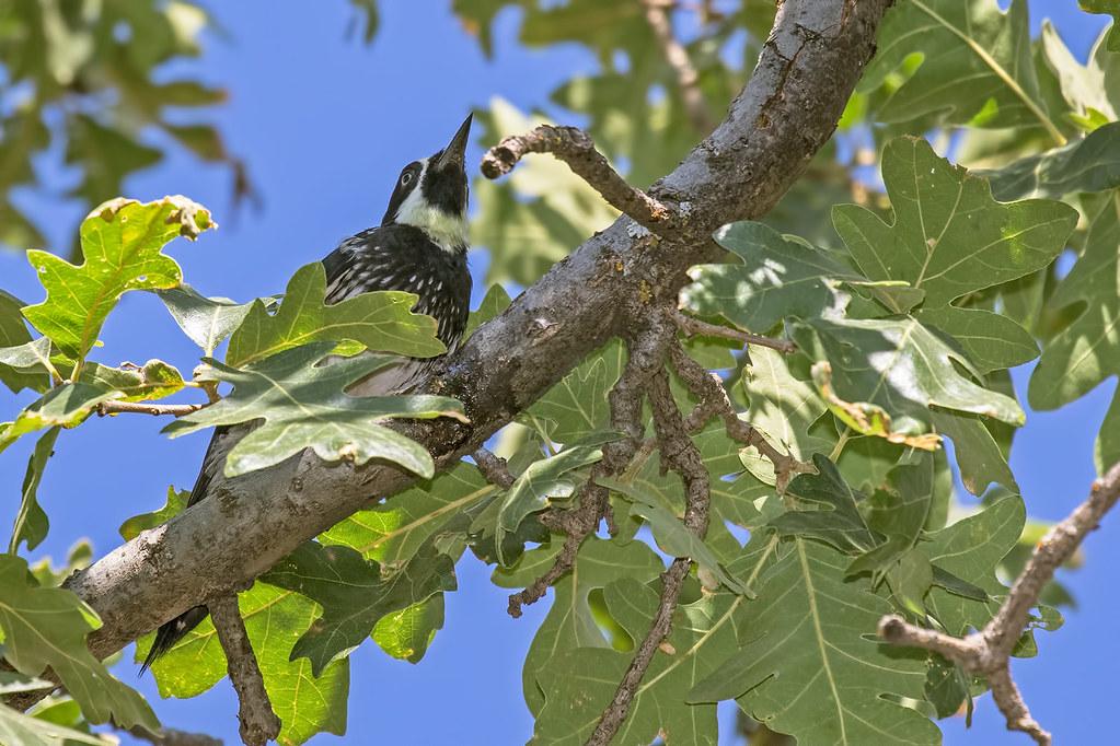 Acorn-Woodpecker-43-7D2-063017