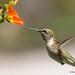 Sep 1 2017 Hummingbirds