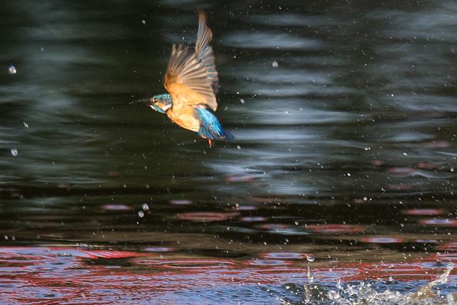 20170902-Kingfisher-DSC_1575