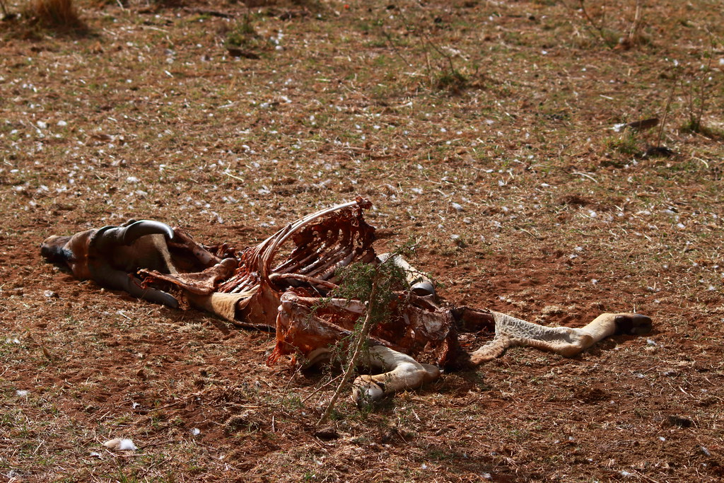 Eland carcass from the morning, cleaned up by vultures
