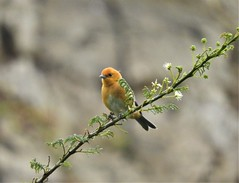 Rufous-chested Tanager (Thlypopsis ornata)